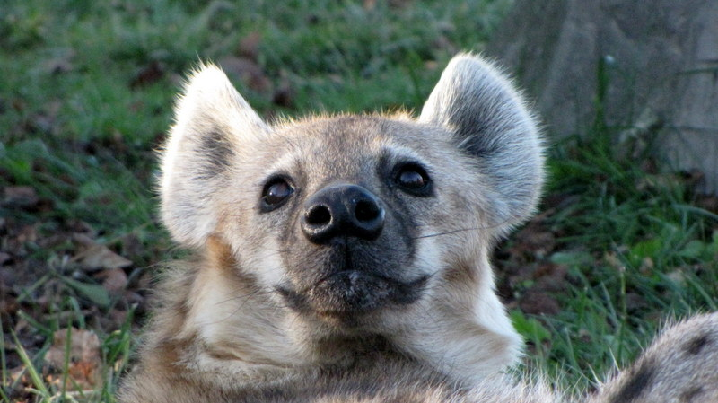The Smile of the Hyena