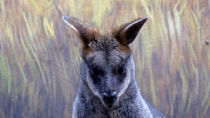 Watchful Wallaby